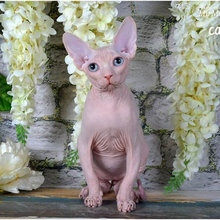 Sphynx male w61 - Magnificent Justin ideal/SOLD