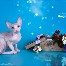 Kittens for sale - Magnificent